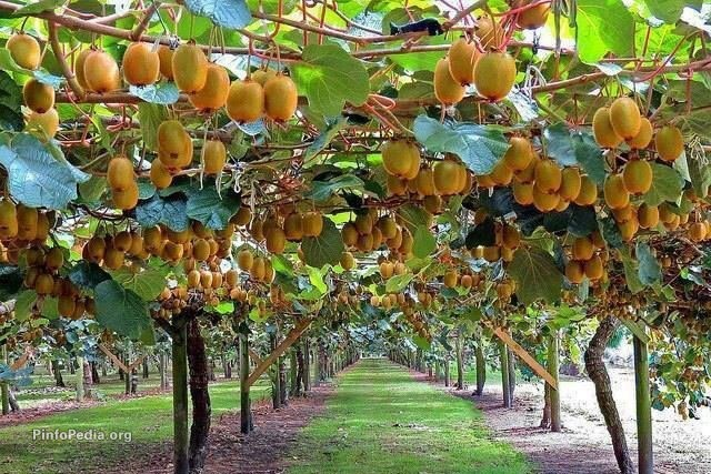 Seasonal ban on kiwifruit exports begins on July 6th
